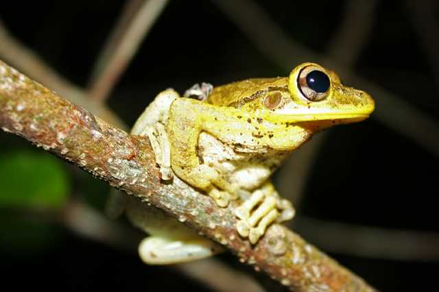 Cuban_Tree_Frog_(Osteopilus_septentrionalis).jpg