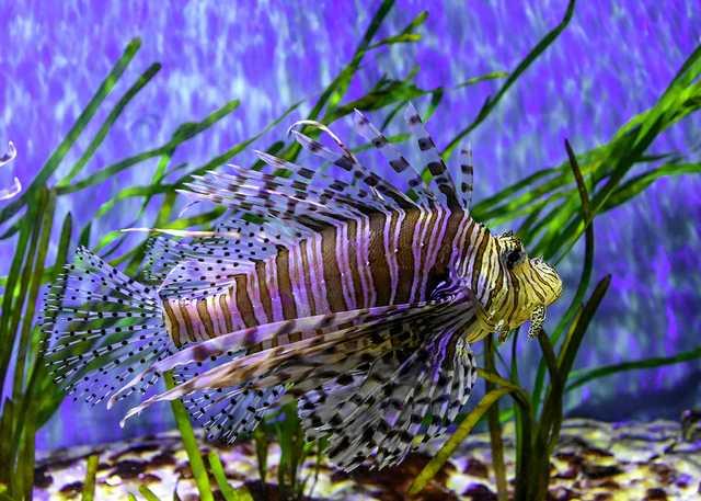 Lionfish---Charles-Patrick-Ewing.jpg