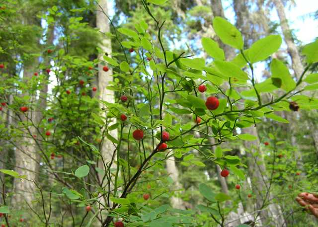 huckleberries—Flickr-Laurel-Fan.jpg