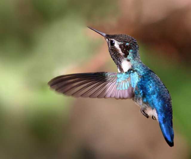 Bee_hummingbird_(Mellisuga_helenae)_adult_male_in_flight.jpg