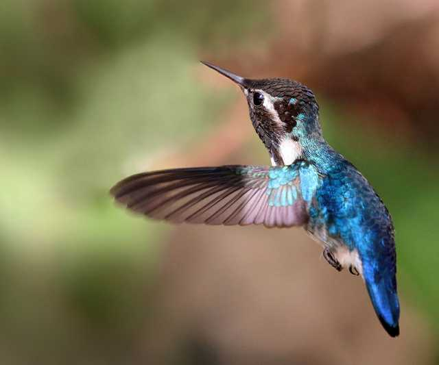 Bee_hummingbird_(Mellisuga_helenae)_adult_male_in_flight.jpg