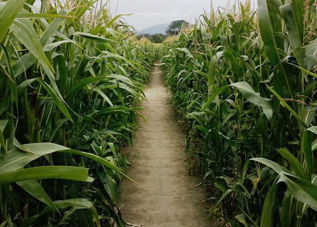 Inside_a_corn_maze_near_Christchurch,_New_Zealand.jpg