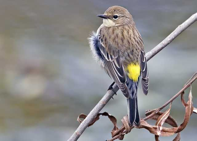 Yellow_rumped_warbler_-_natures_pics.jpg