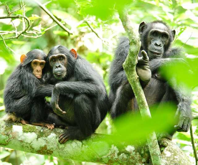Chimpanzees_in_Uganda_(5984913059).jpg