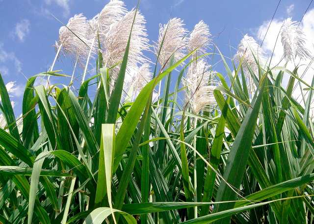1280px-_Flowers_of_sugar_cane_.jpg