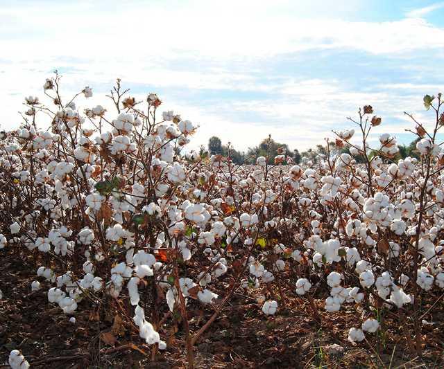 cotton-2180559_1920.jpg