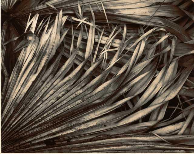 5)-1989-Dying-Palmettoes.jpg