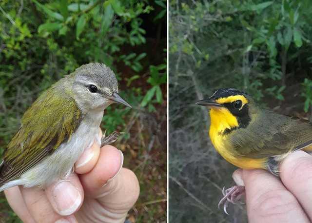 kentucky-warbler-and-tennessee-warbler.jpg