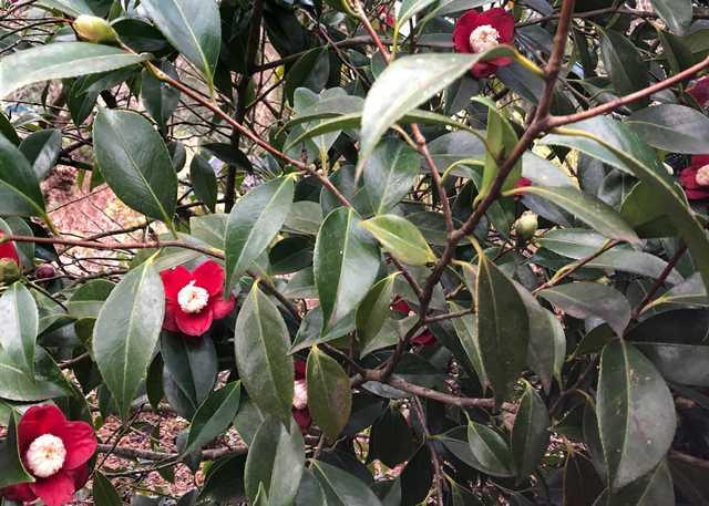 Camellia-japonica-main.jpg