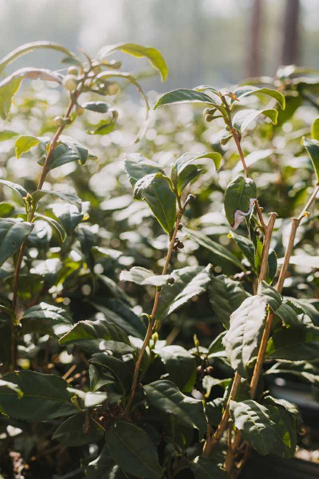tea-plants.jpg