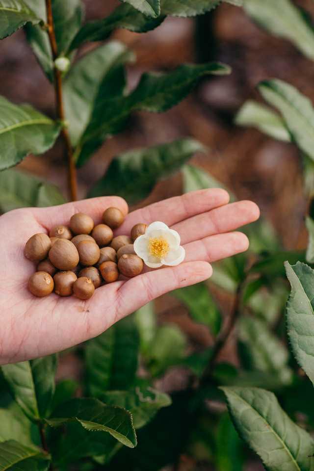 tea-seeds.jpg