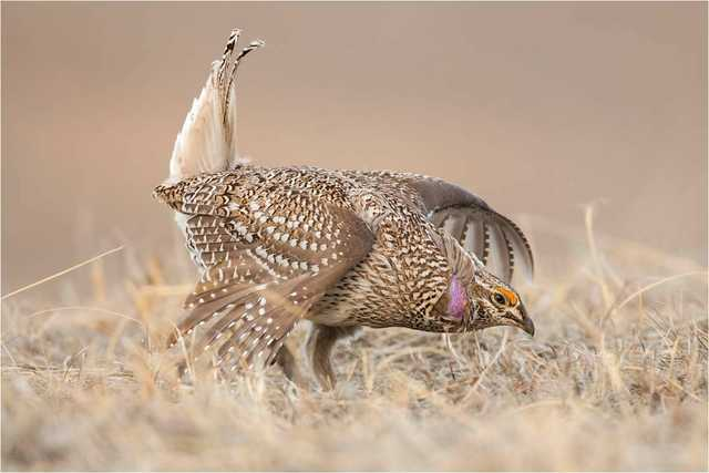 harp-tailed-Grouse-(1).jpg