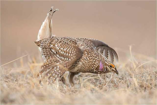 harp-tailed-Grouse-(1).jpg