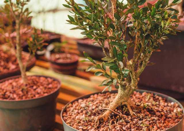bonsai march 2020