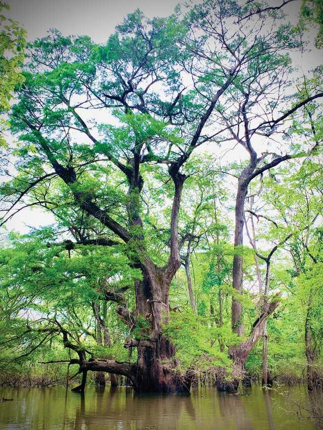 1500 cypress.jpg