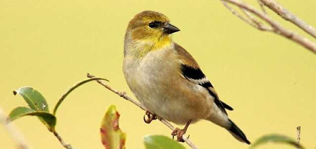 the american goldfinch country roads magazine