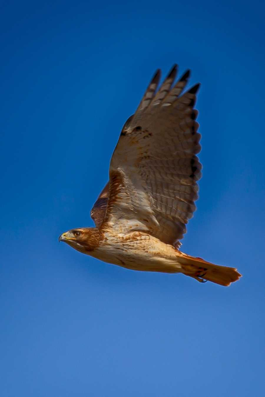 Red Tailed Hawk Country Roads Magazine