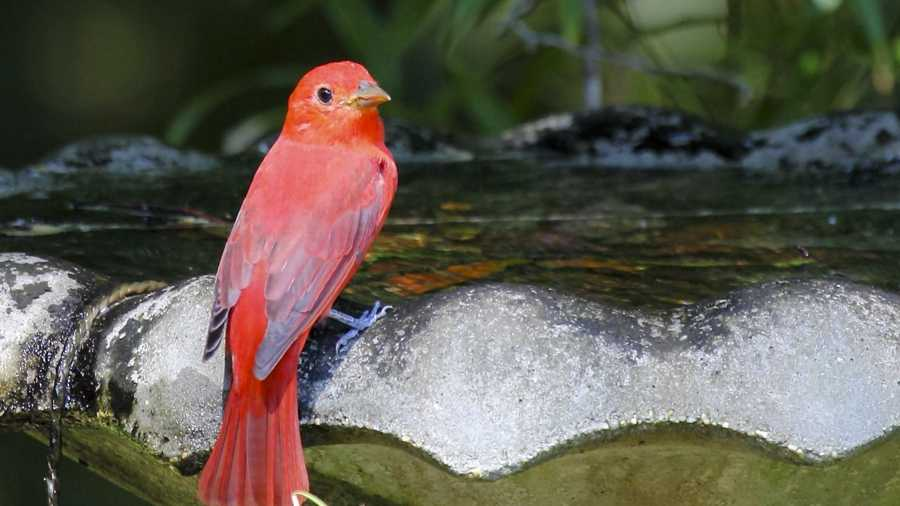 Image of: Male Country Roads Magazine The Summer Tanager Country Roads Magazine