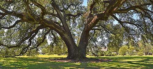 oak_randall.jpg