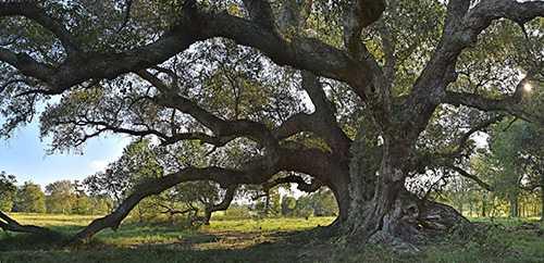 oak_colline.jpg