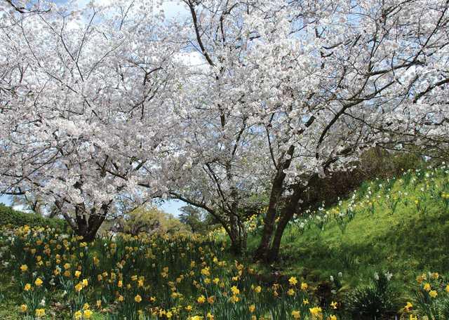 Daffodil Valley at Afton Villa Gardens