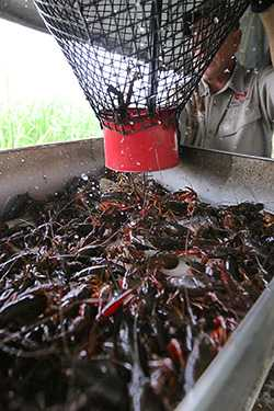 crawfish inline.jpg