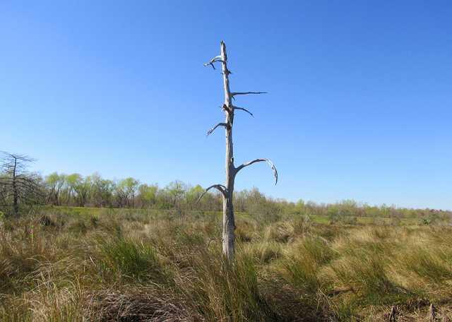 Dead Cypress