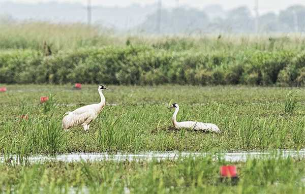 whooping_cranes_louisiana_thomas_finnie.jpg