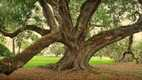 william guion oak crop.jpg