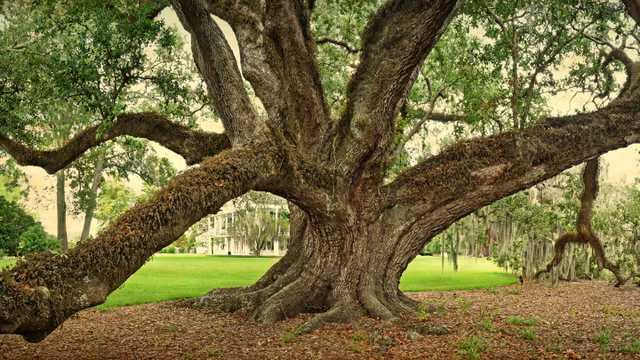 william guion oak crop.jpg