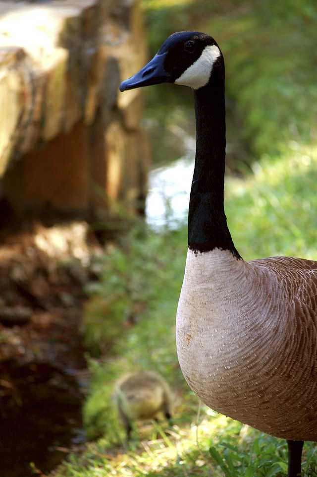 canada-geese-full.jpg