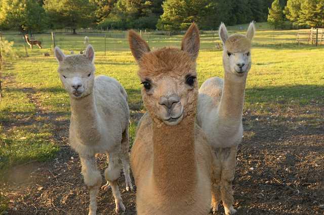 Alpacas-staring.jpg