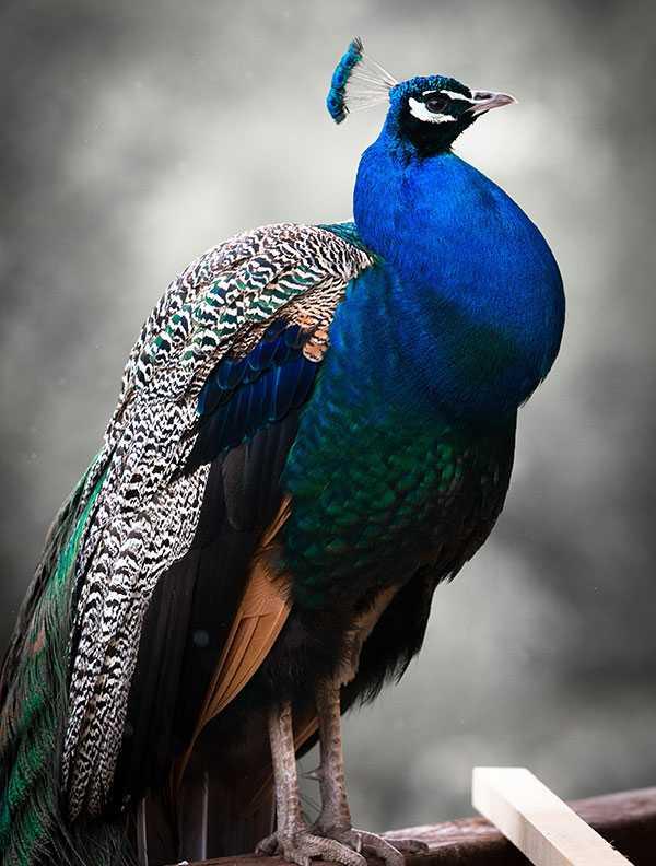 peacock-fullsize.jpg