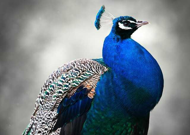 peacock_thumb.jpg