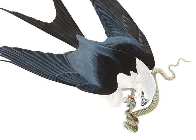 Swallow Tailed Hawk