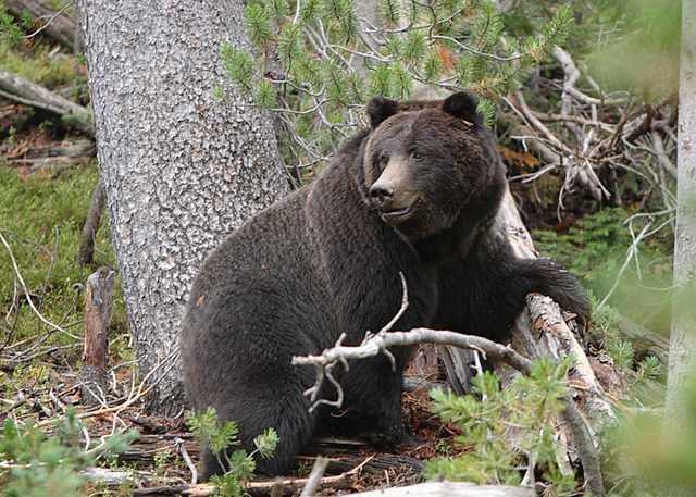 Female_Black_Grizzly_Bear_Alan_Vernon_Flickr.jpg