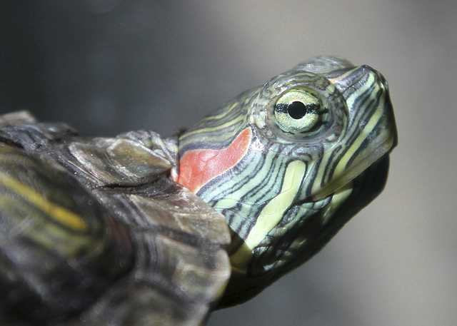Red Eared Slider_Jim, the Photographer via Flickr.jpg