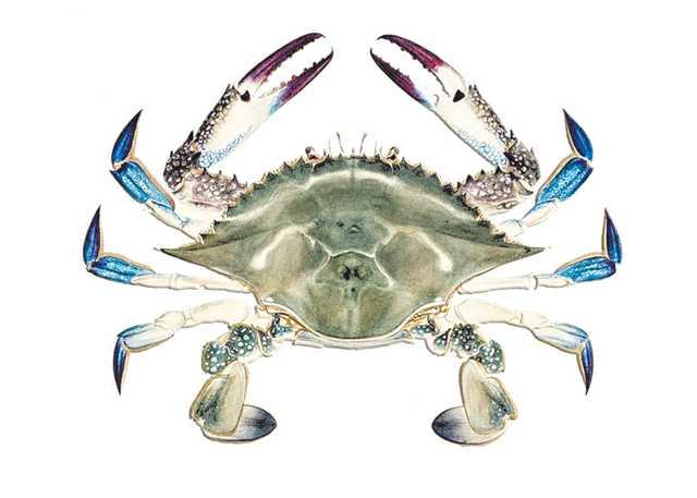 blue_crabweb.jpg