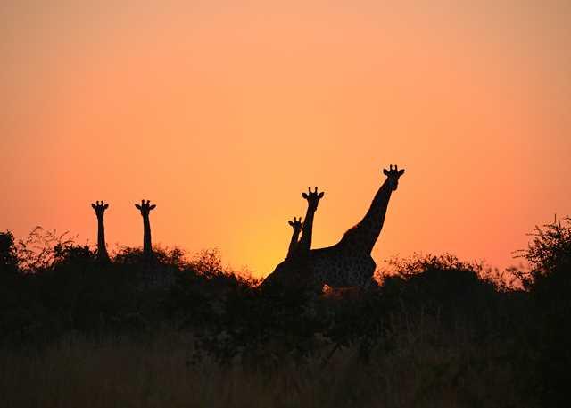 giraffes1.jpg