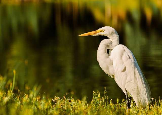 egret-martin.jpg