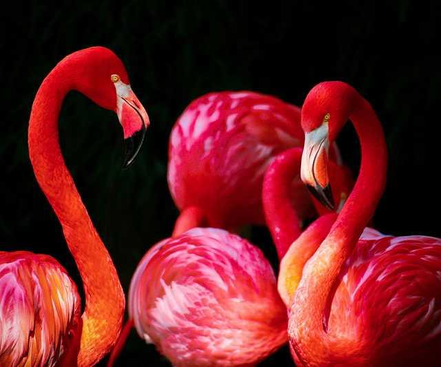 flamingo-phoenicopterus-flamingos-phoenicopteriformes.jpg