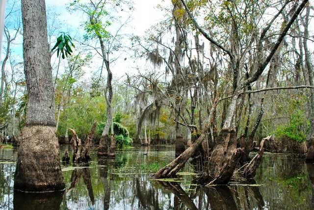 Honey_Island_Swamp_668.jpg