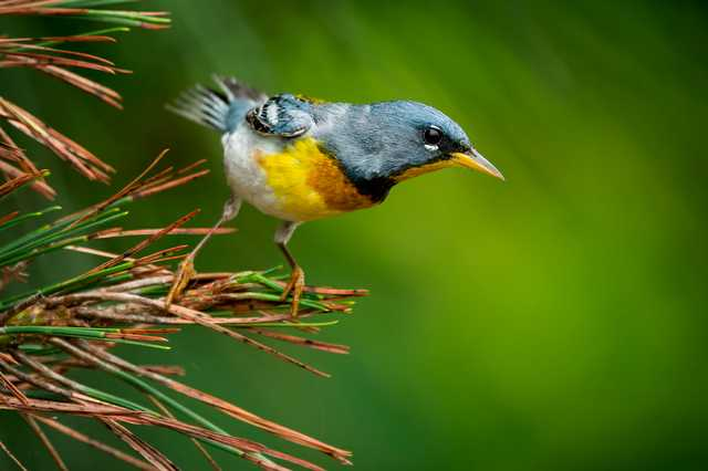 northernparula_christopherking.jpg