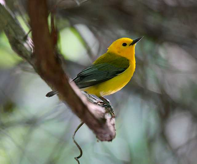 Prothonotary_Warbler.jpg
