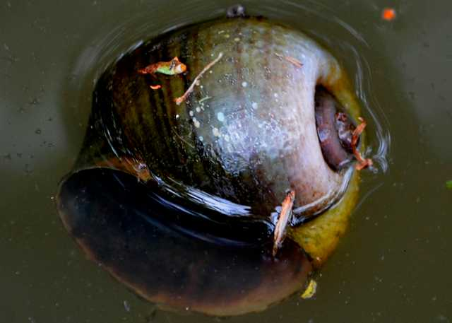 Floating-Apple-Snail-(1).jpg